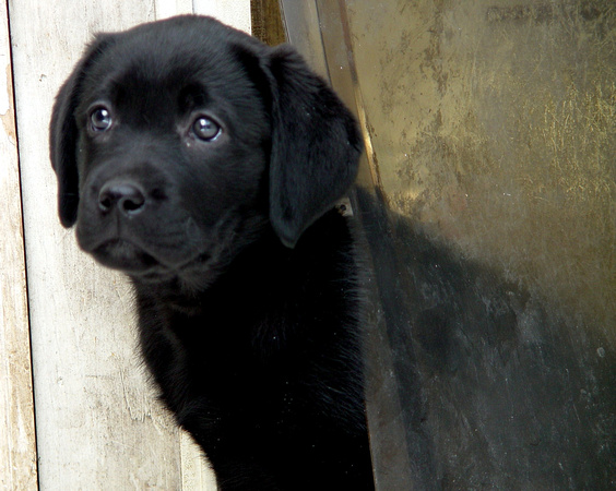 Black Lab Puppy  6