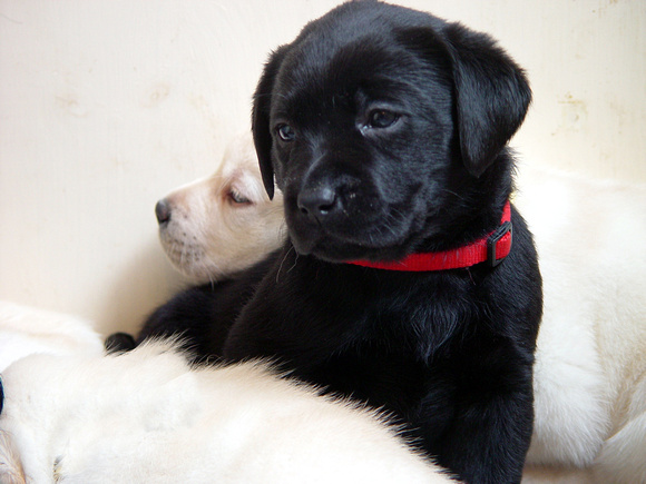Black Lab Puppy 2