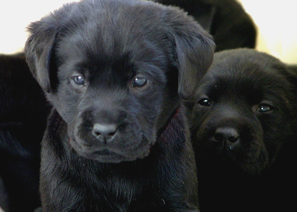 Black Lab Puppy 4