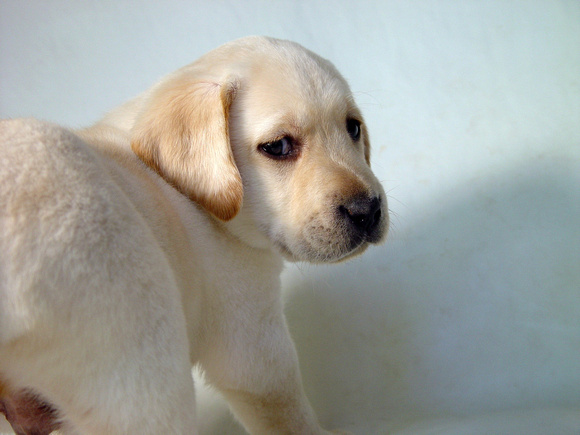 Yellow Lab Puppy 3