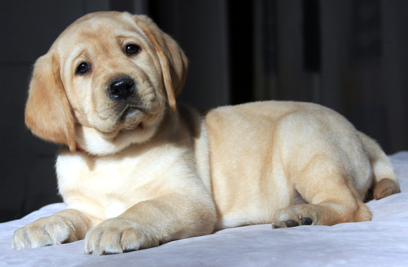 Yellow Lab Puppy #12