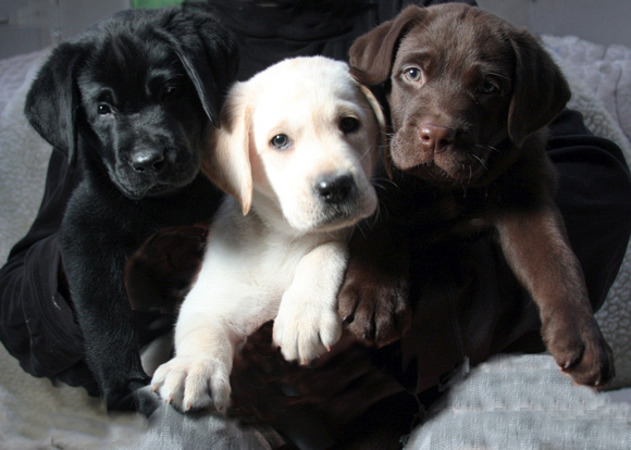 Black, Yellow, Chocolate Pups
