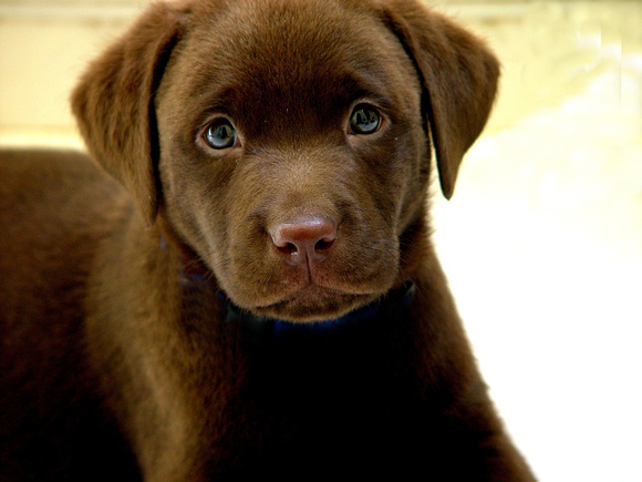 Chocolate Puppy #6