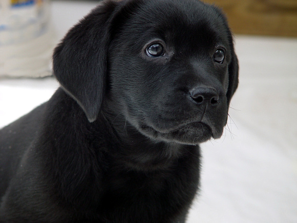 Black Lab Puppy 3