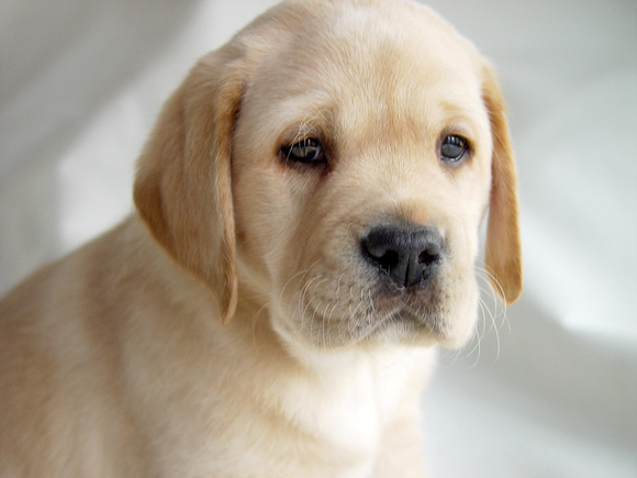 Yellow Lab Puppy #11