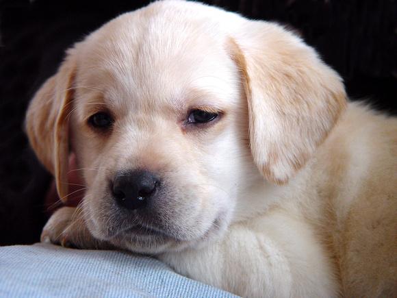 yellow lab dog - photo #24